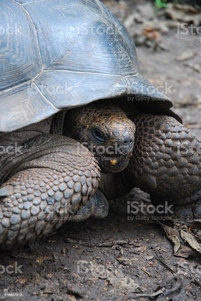 Giant Tortoise on Floreana Island, Galapagos royalty-free stock photo