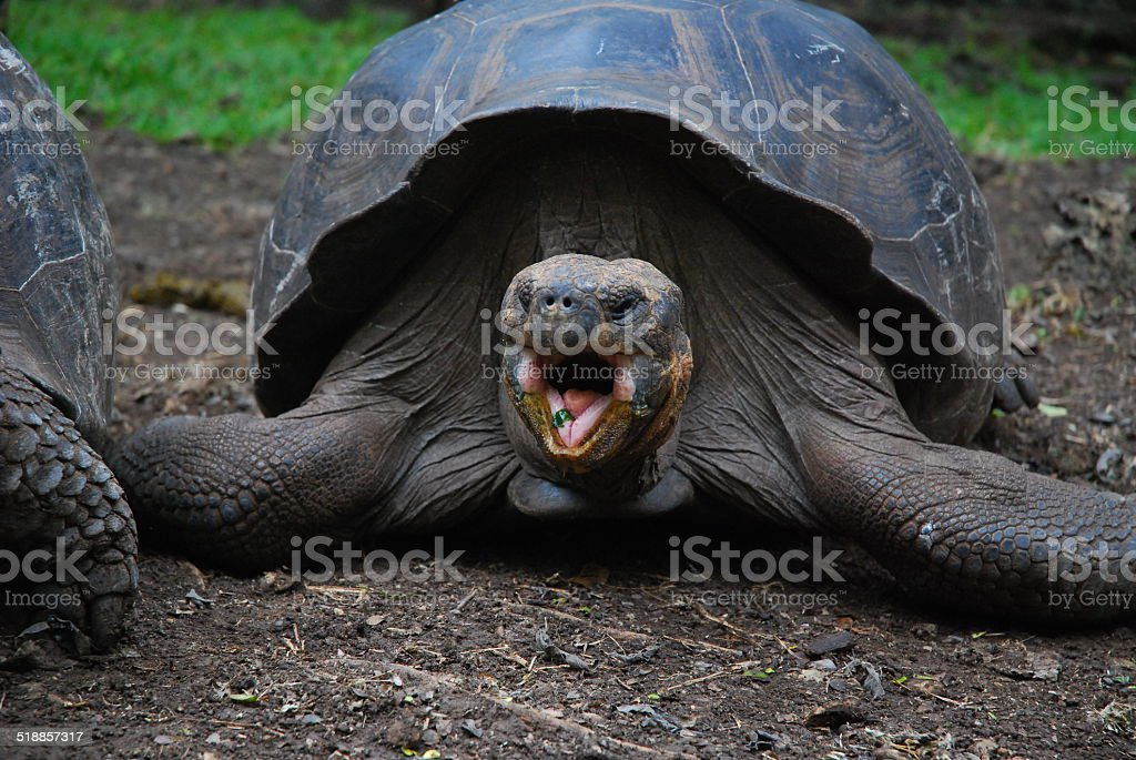 Giant Tortoise on Floreana Island, Galapagos stock photo
