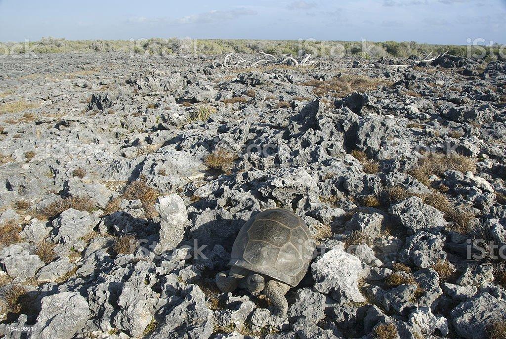 giant tortoise on limestone stock photo