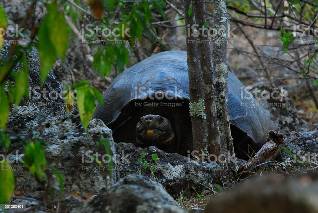 Giant Tortoise on San Cristobal Island, Galapagos royalty-free stock photo