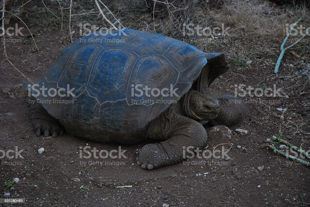 Giant Tortoise on San Cristobal Island, Galapagos stock photo