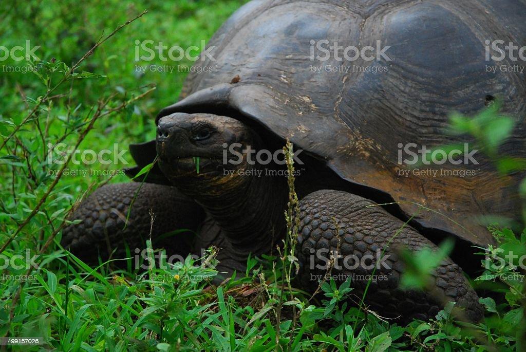 Giant Tortoise on Santa Cruz Island, Galapagos royalty-free stock photo