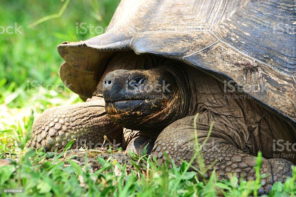 Giant Tortoise stock photo