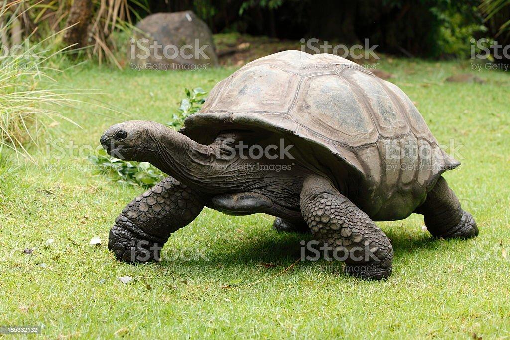 A giant tortoise walking outside stock photo