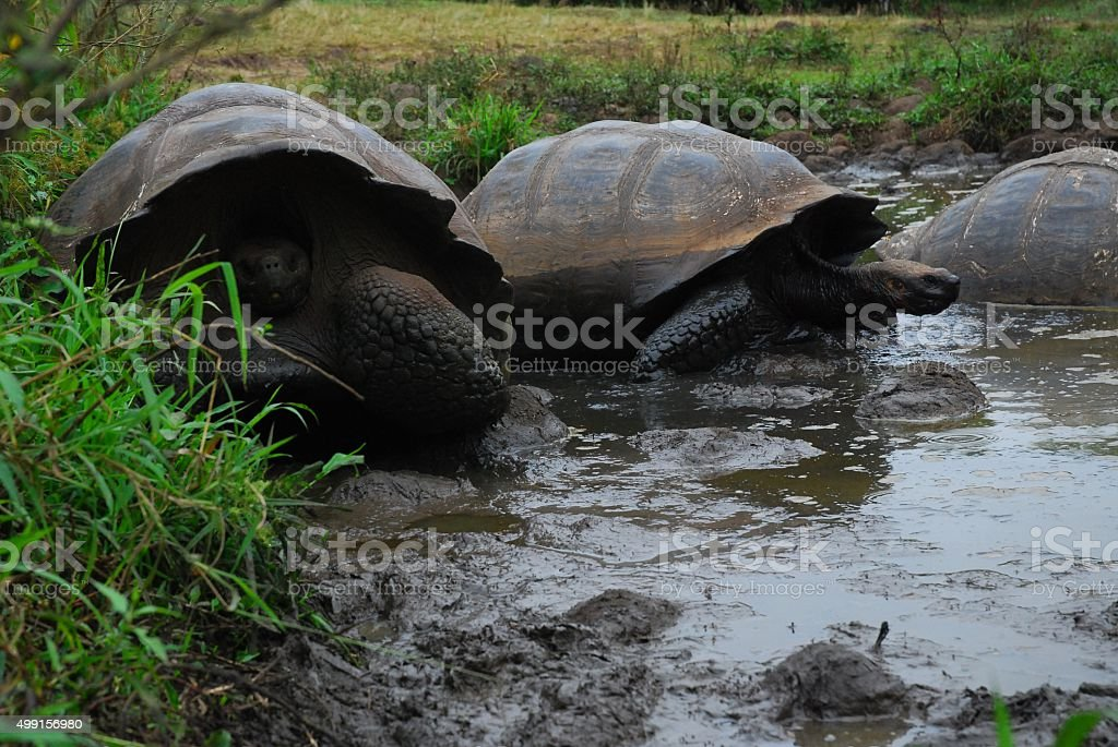 Giant Tortoises in a Pond on Santa Cruz Island, Galapagos stock photo