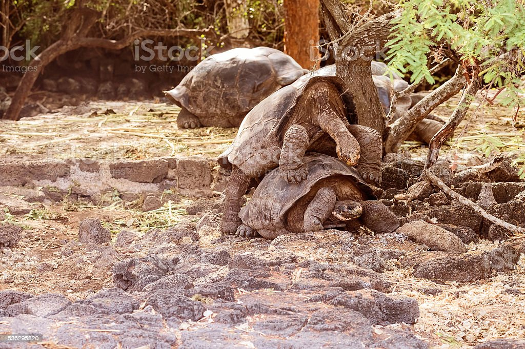 Giant tortoises mating in Darwin Station, Galapagos. stock photo