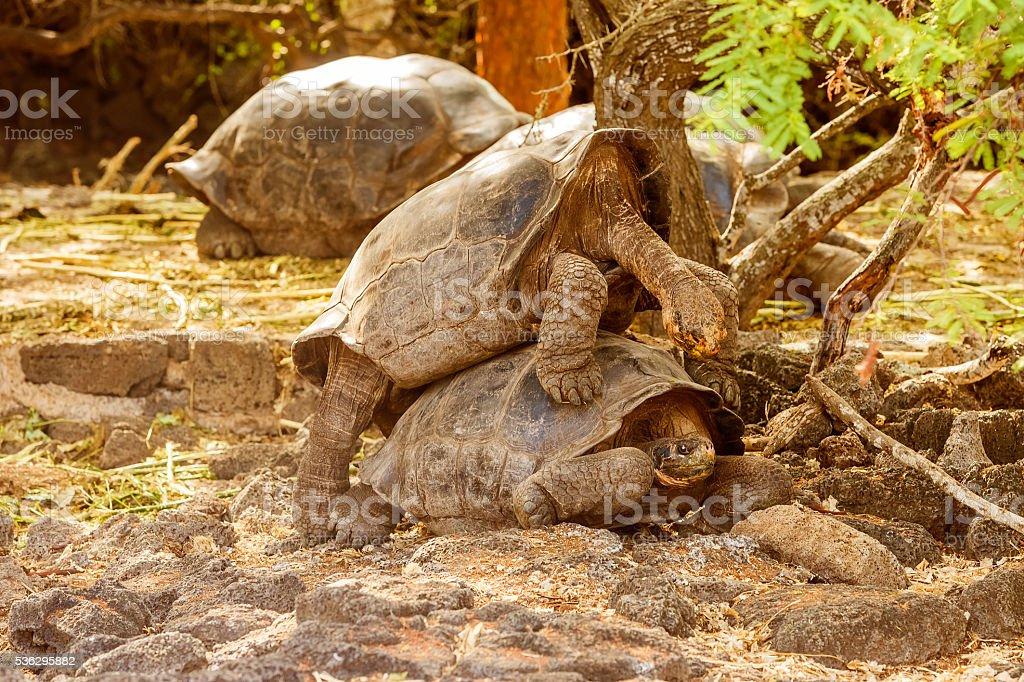 Giant tortoises mating in Darwin Station, Galapagos. stock photo