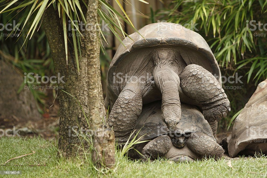 Giant Tortoises Mating stock photo