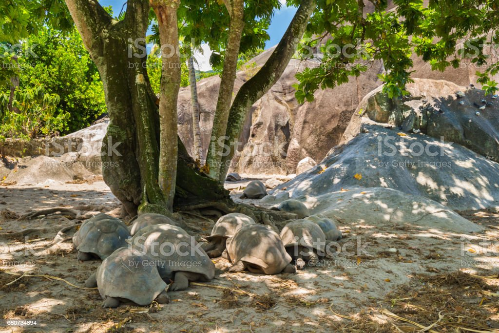 Giant tortoises of Seychelles stock photo