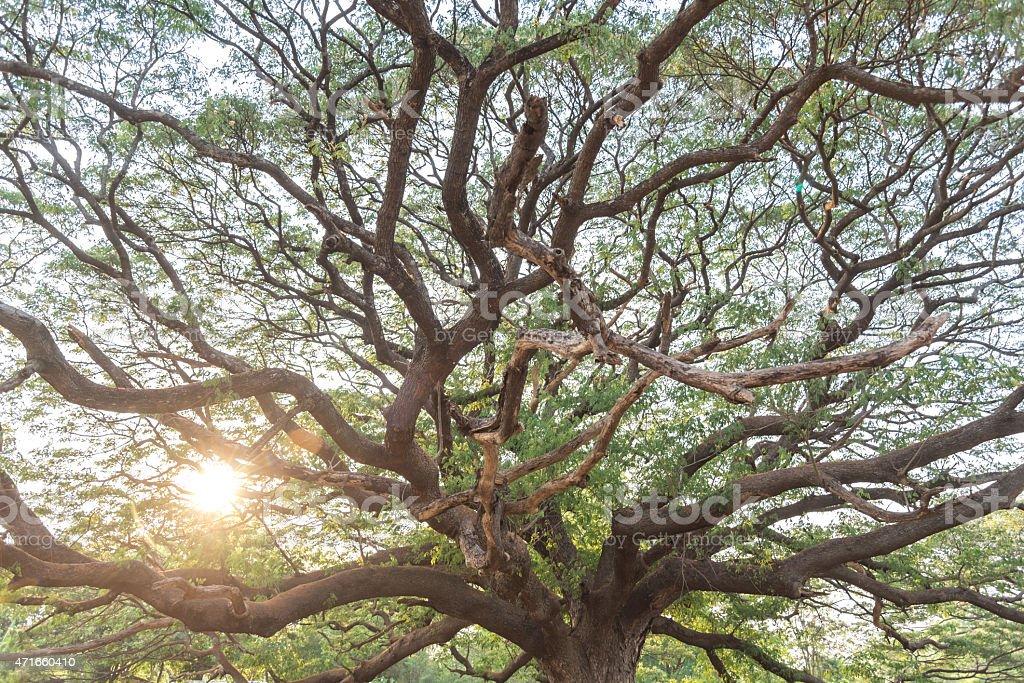 Giant tree stock photo