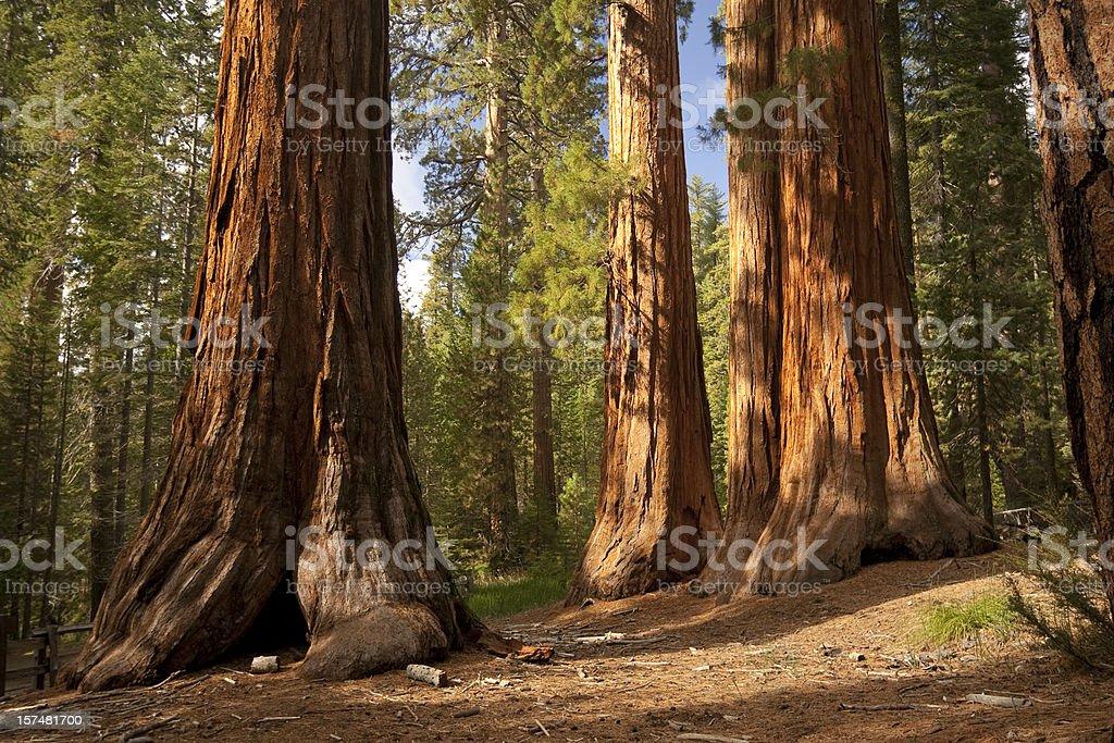 Giant trees reach the sky stock photo