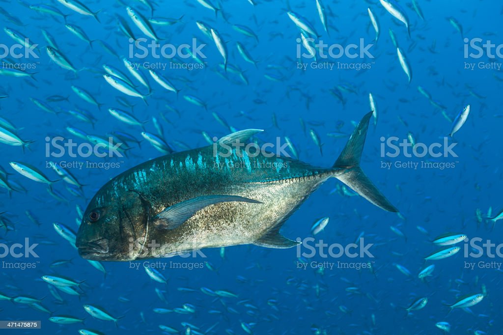 Giant Trevally and his typical bait, Komodo National Park, Indonesia stock photo