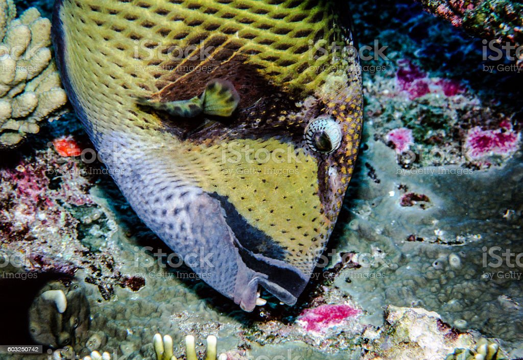 Giant Triggerfish - Thailand (Lunch) royalty-free stock photo