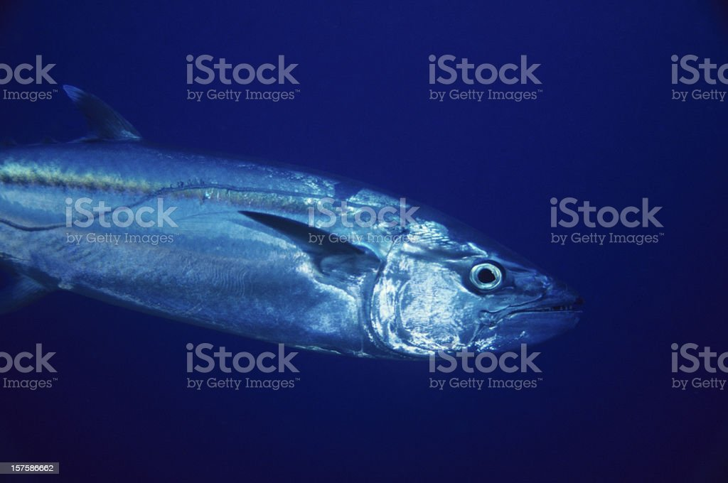 Giant Tuna royalty-free stock photo