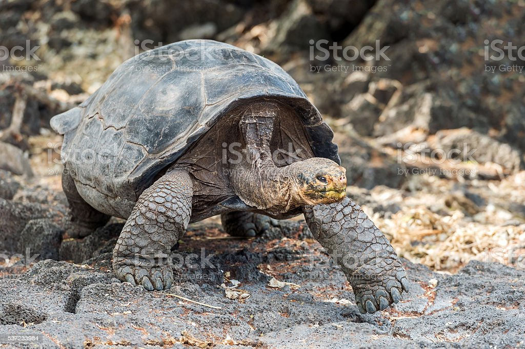 Giant turtle in Galapagos stock photo
