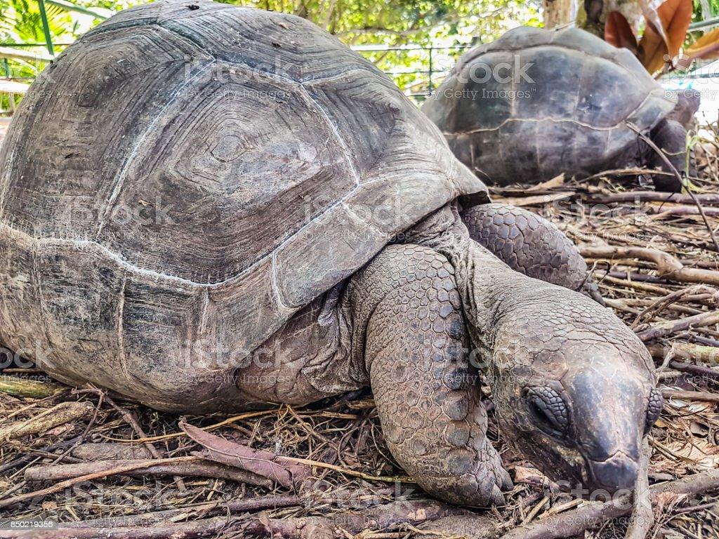 Giant turtle of Seychelles stock photo