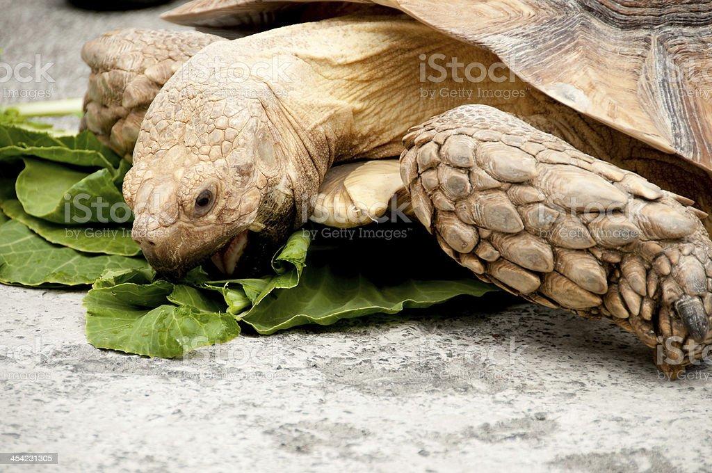 Giant Turtle royalty-free stock photo