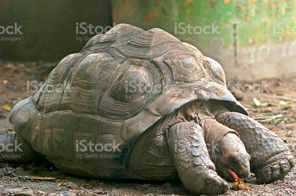Giant turtle royalty-free stock photo