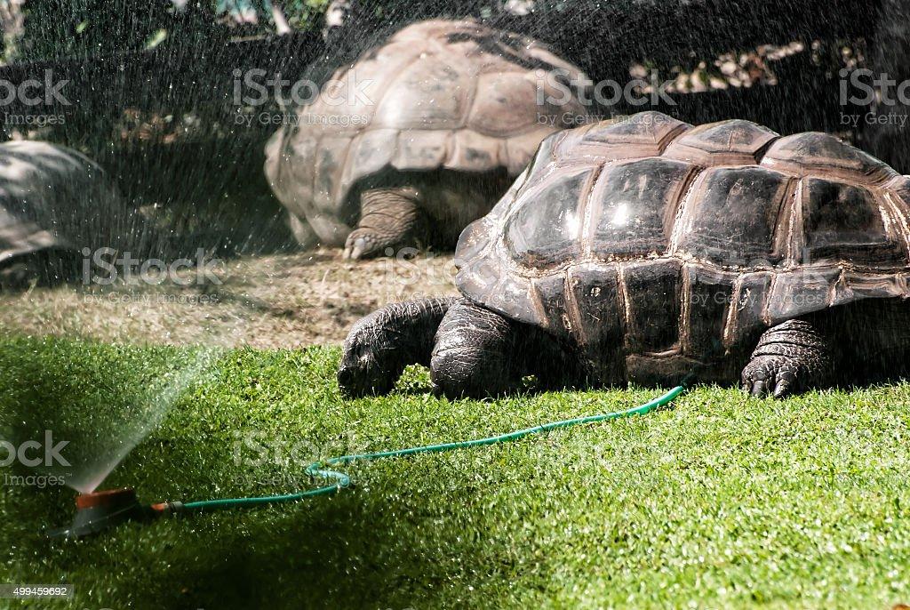 Giant turtles graze grass and enjoy the water splash stock photo