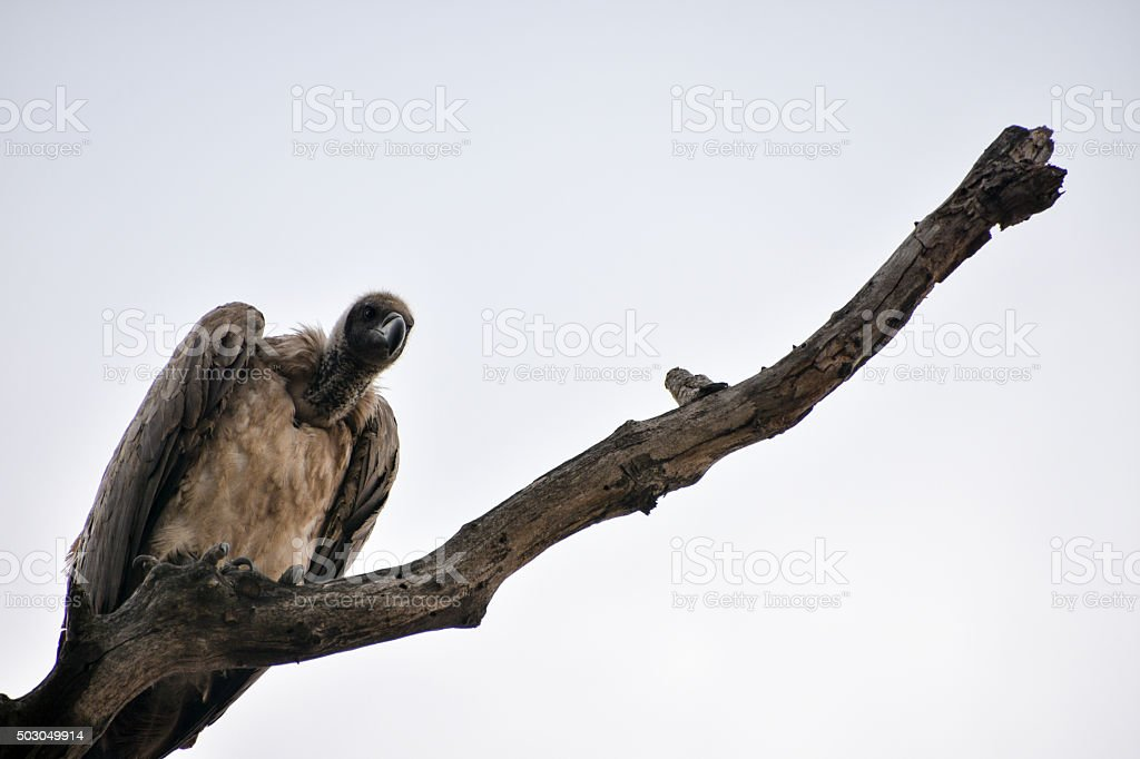 Giant Vulture in a Tree stock photo