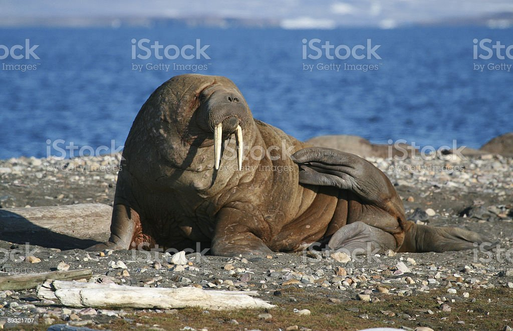 Giant Walrus stock photo