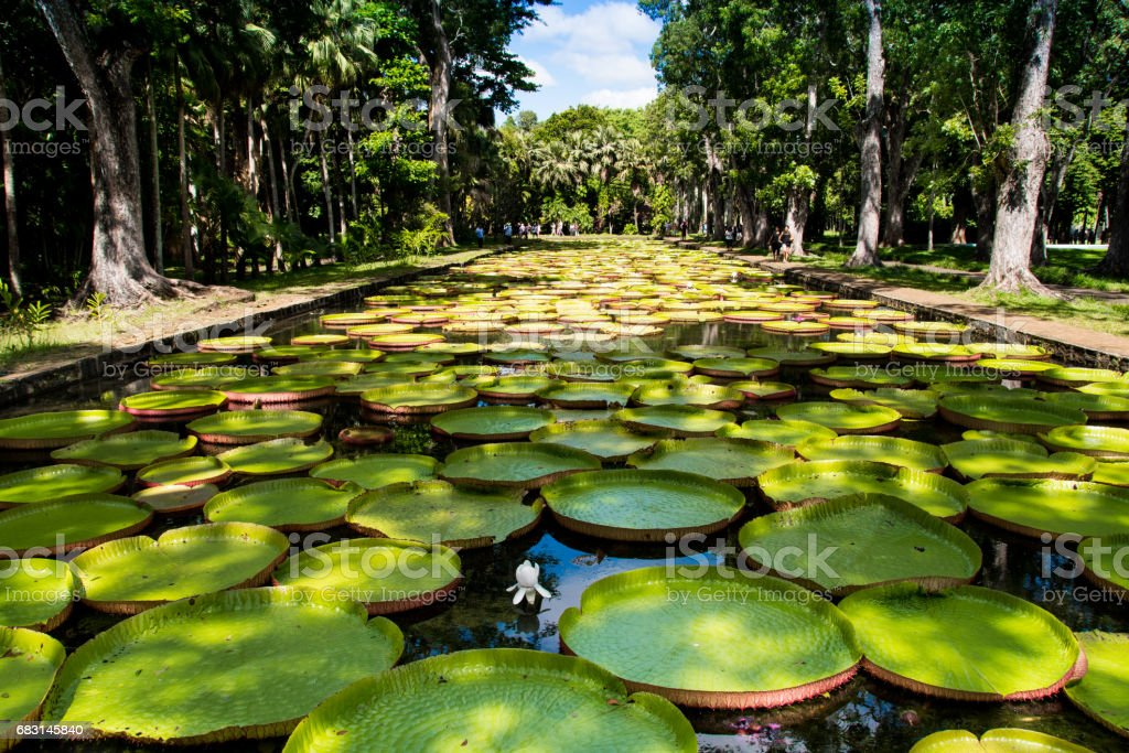 Giant water lilies in Pamplemousses garden - Mauritius stock photo