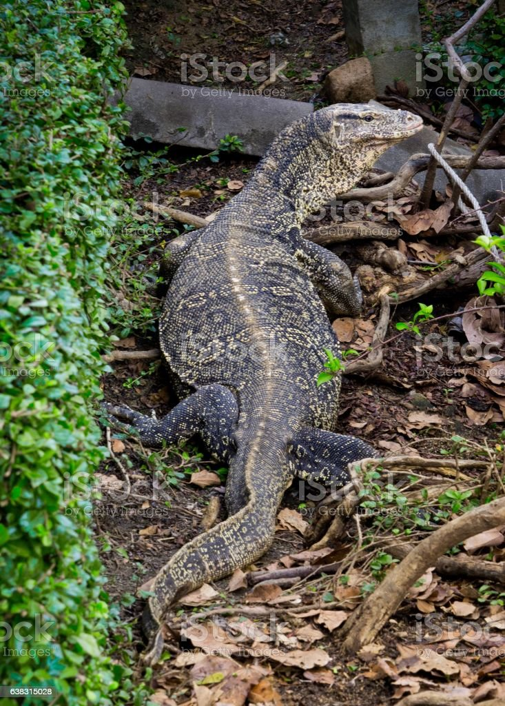 Giant Water Monitor  Crawling Nearby Canal in Bangkok stock photo