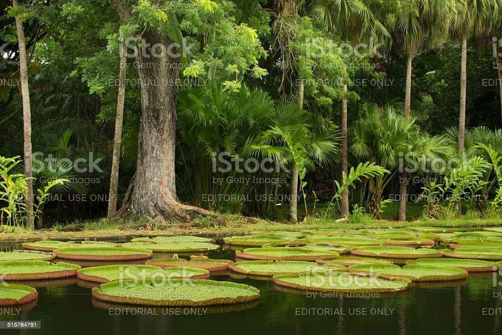 Giant waterlilies and tropical trees stock photo