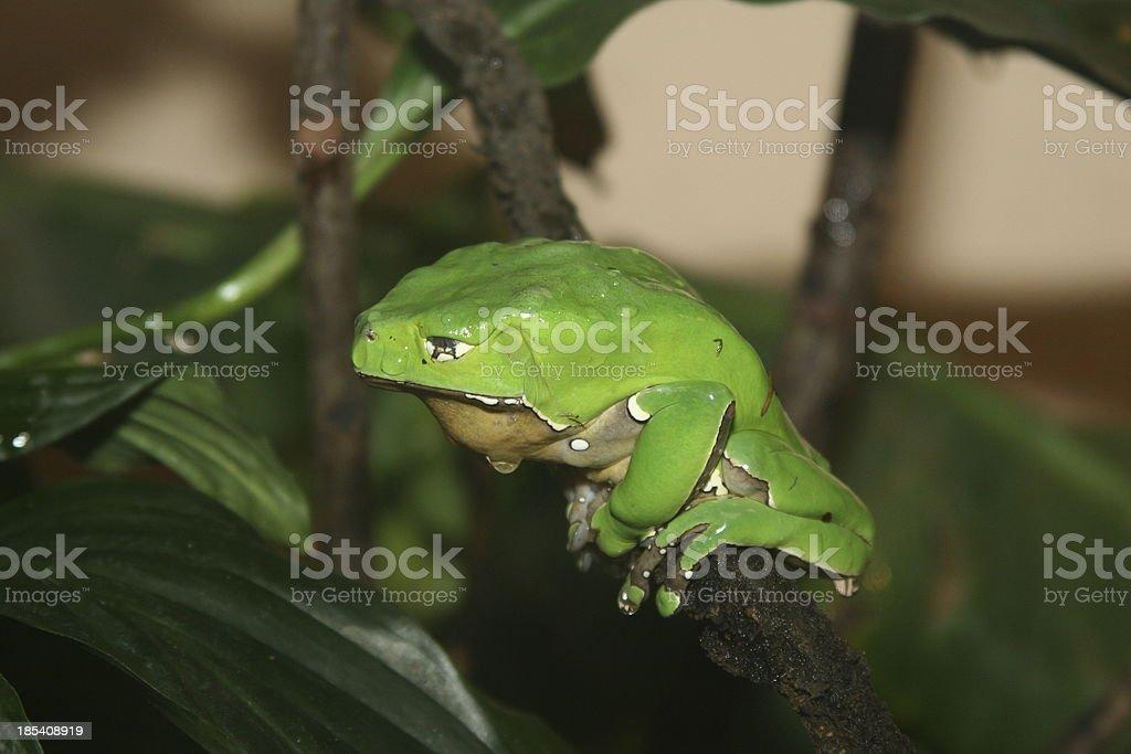 Giant Waxy Monkey Tree Frog stock photo