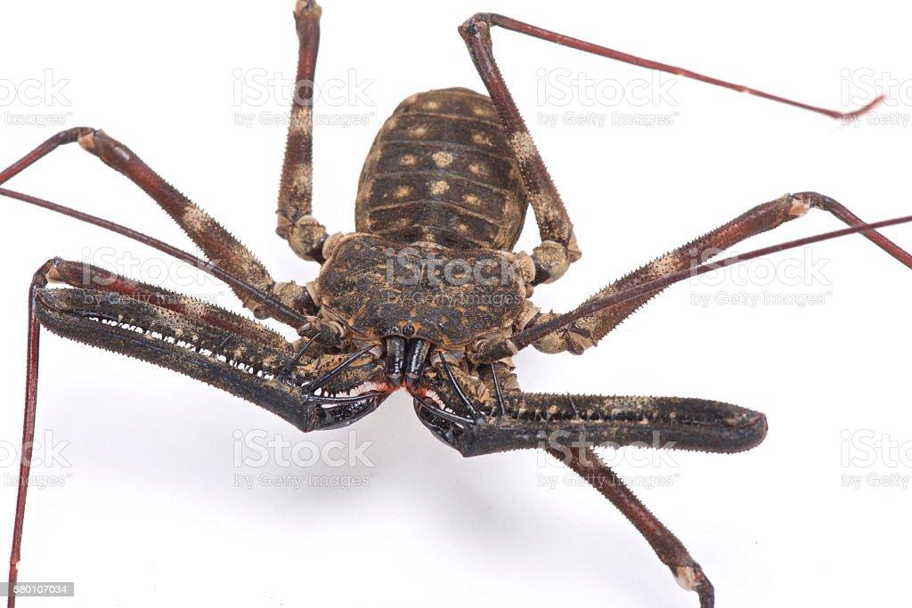 Giant whip scorpion (Damon medius) stock photo