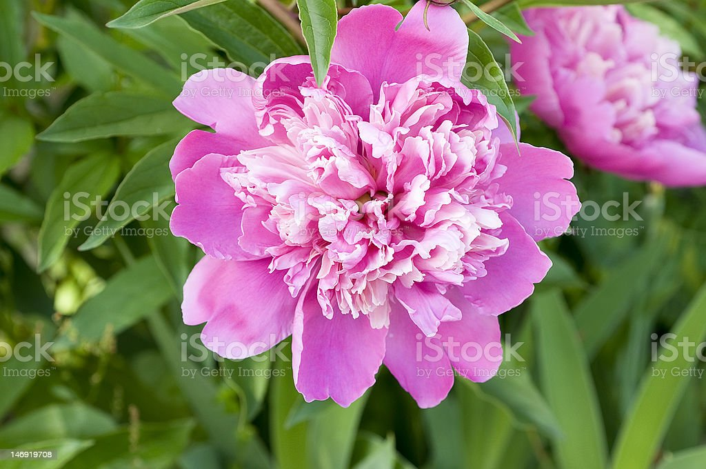 Giant white and pink Peony stock photo