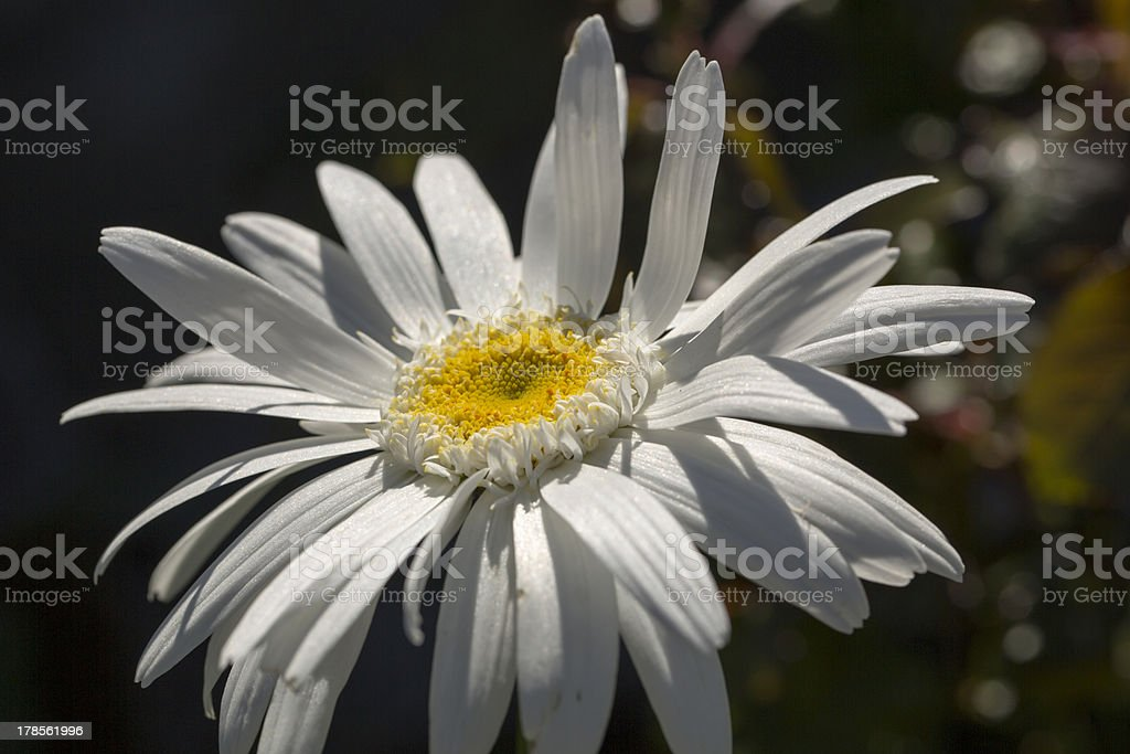 Giant White royalty-free stock photo