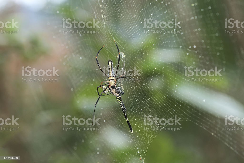 giant wood spider eating Gomphidia abbotti dragonfly royalty-free stock photo