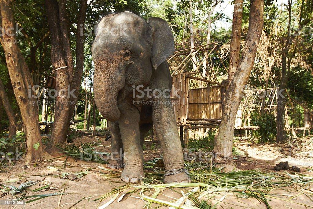 Giants in captivity royalty-free stock photo