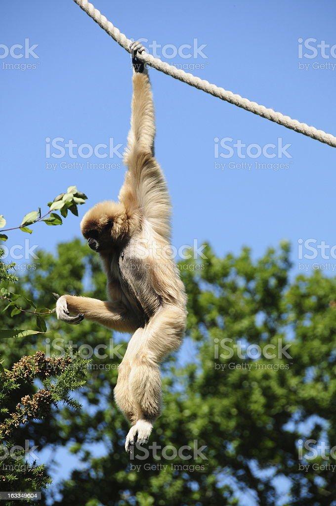Gibbon ape, Jersey. stock photo