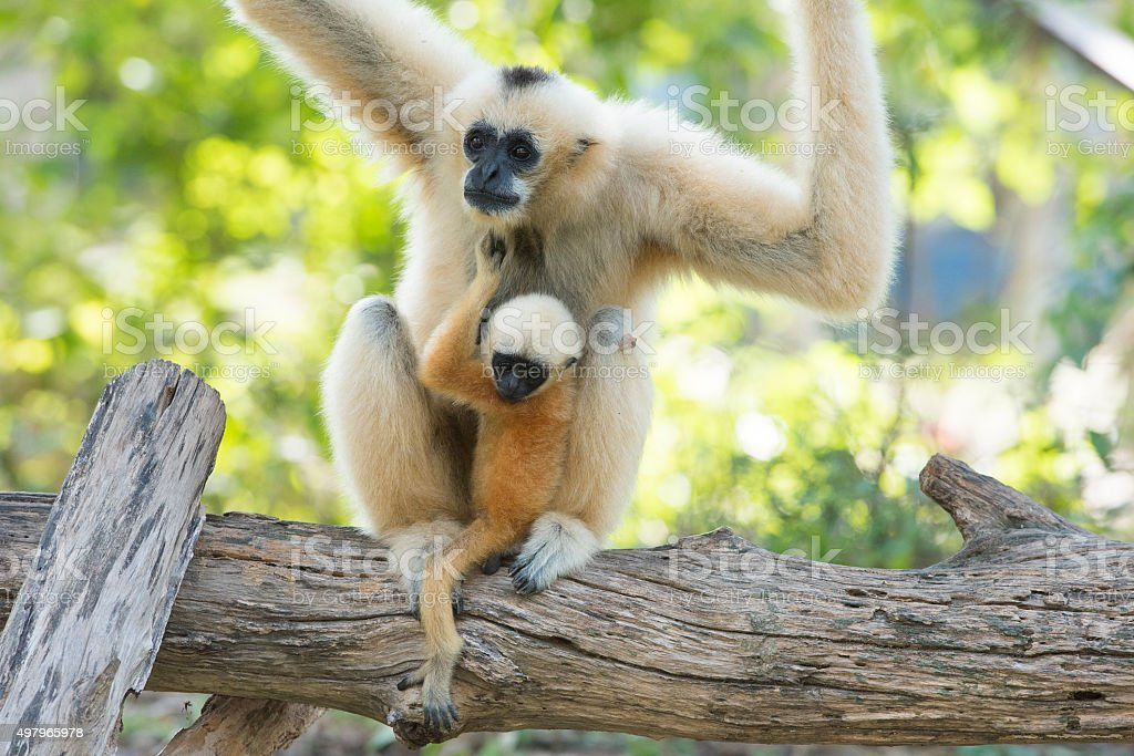 Gibbon baby in the zoo stock photo