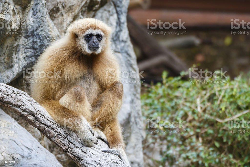 Gibbon (Hylobates lar) ,Chiangrai ,Thailand stock photo