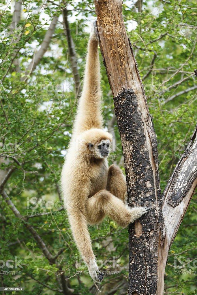 Gibbon (Hylobates lar) climb tree in forest ,Chiangrai ,Thailand stock photo