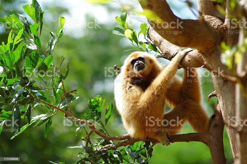 Gibbon clinging on tree in the nature stock photo
