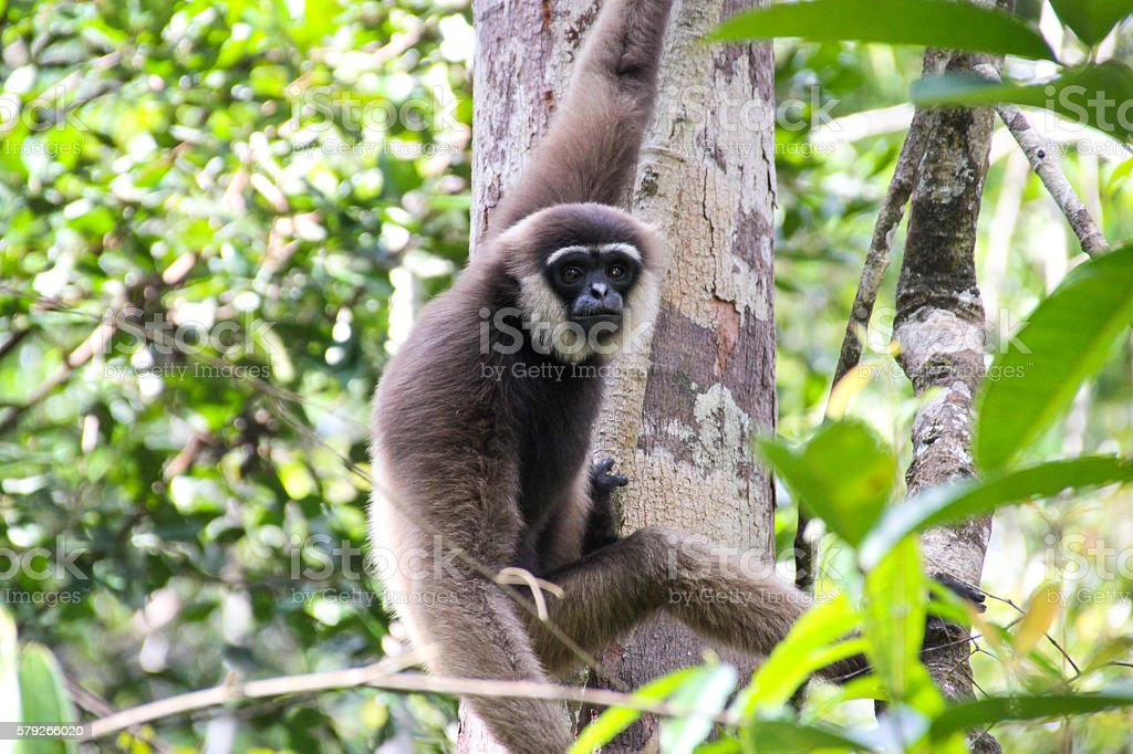 Gibbon Hanging From A Tree stock photo