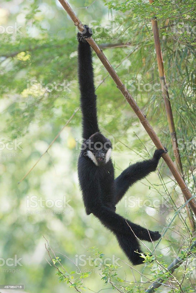 Gibbon Hanging the tree stock photo