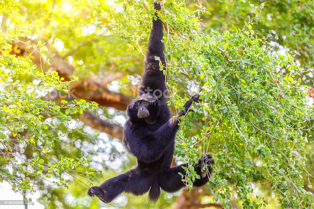 Gibbon hung from a tree stock photo