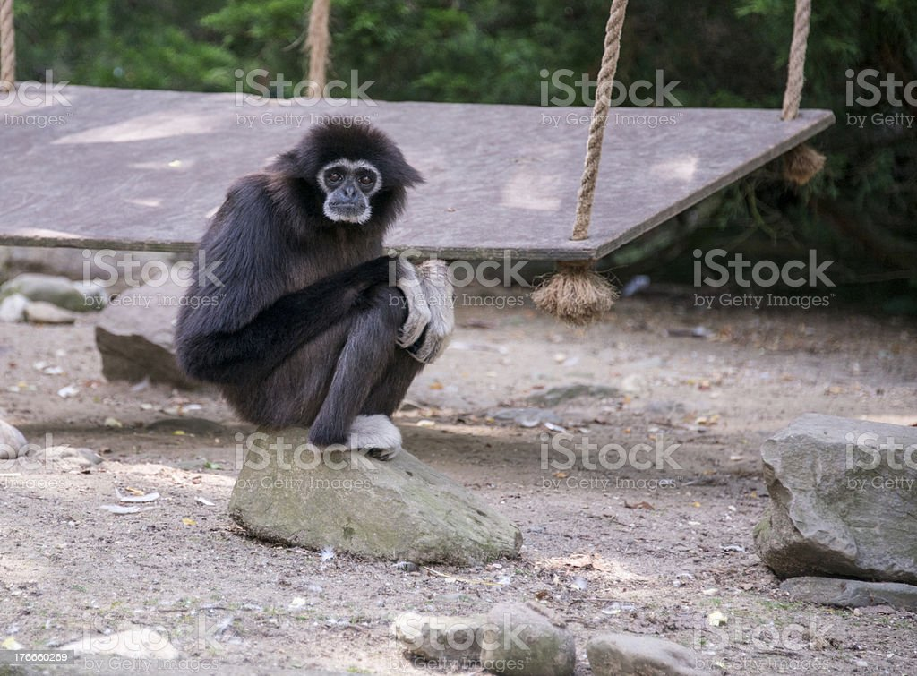 gibbon monkey stock photo