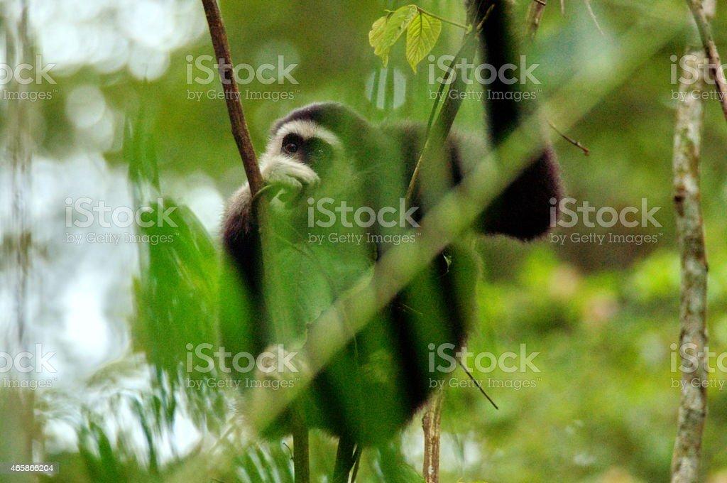 Gibbon on the tree stock photo
