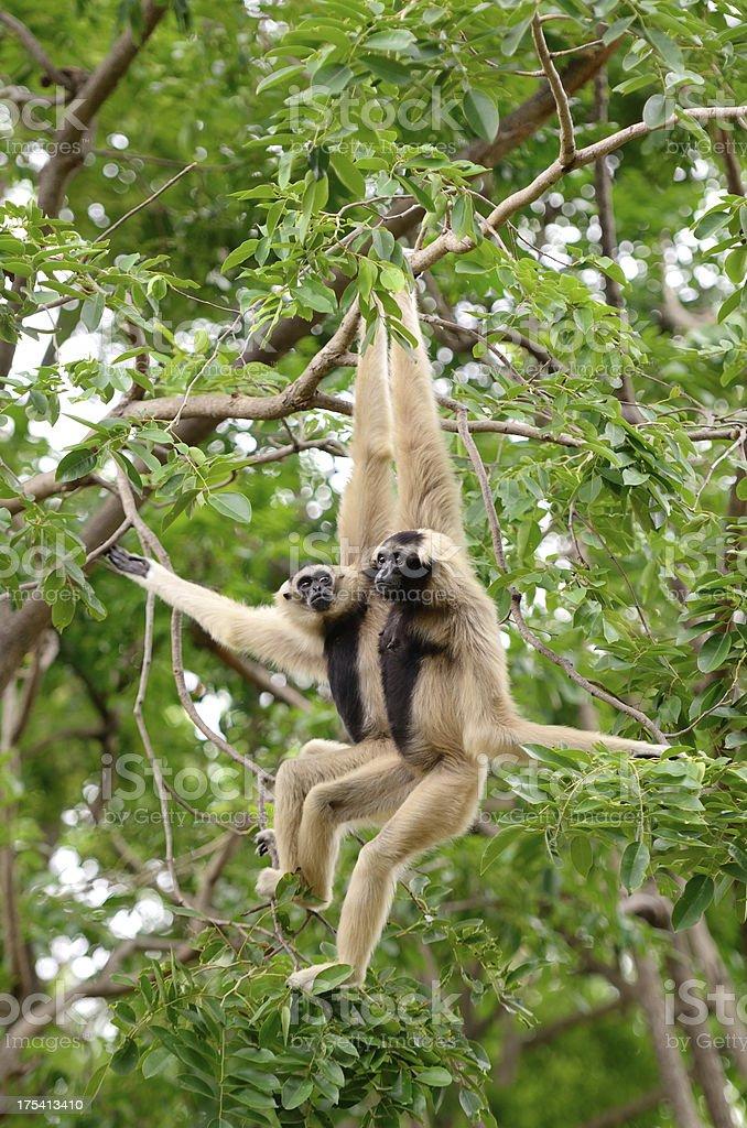 Gibbon stock photo