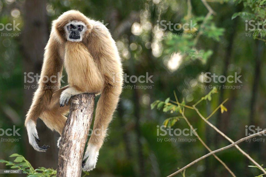 Gibbon sitting alone on the wood stock photo