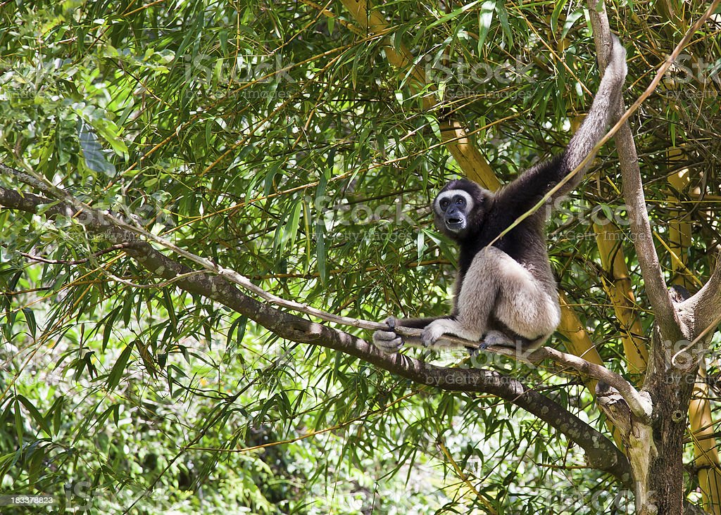 Gibbon sitting on branches royalty-free stock photo