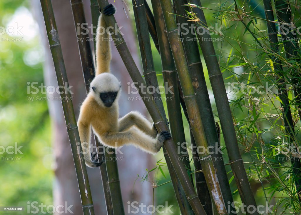 Gibbon swinging between the bamboo stock photo