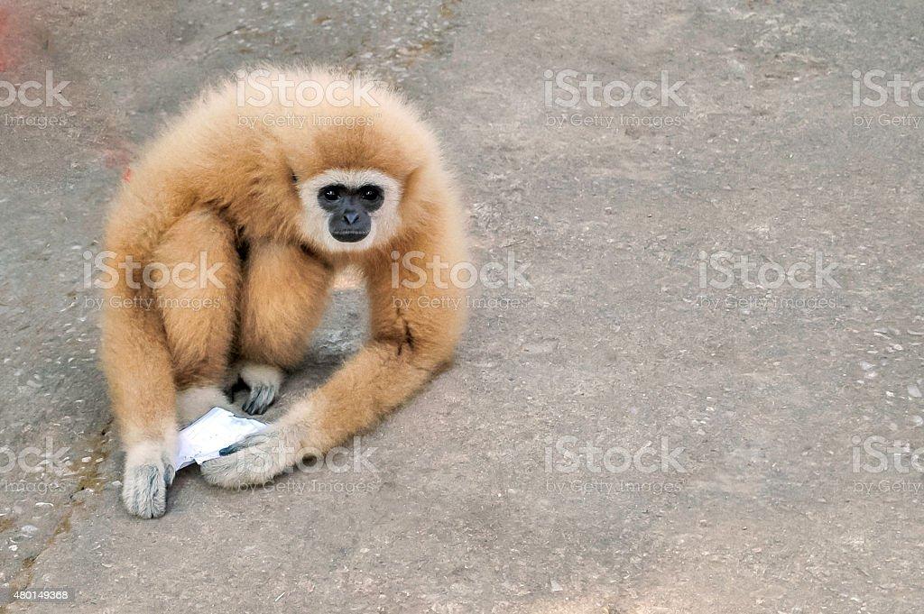 gibbon:Hylobates lar stock photo