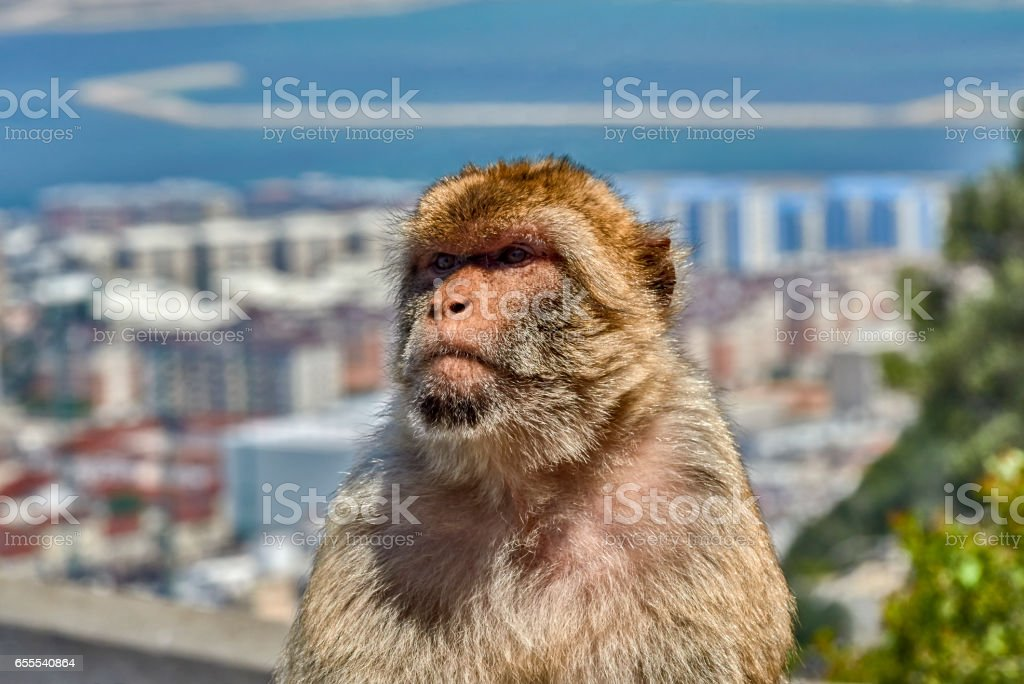 Gibraltar Monkeys or Barbary Macaques are considered by many to be the top tourist attraction in Gibraltar stock photo